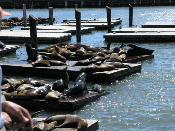 Seals and Sea Lions off of Pier 39