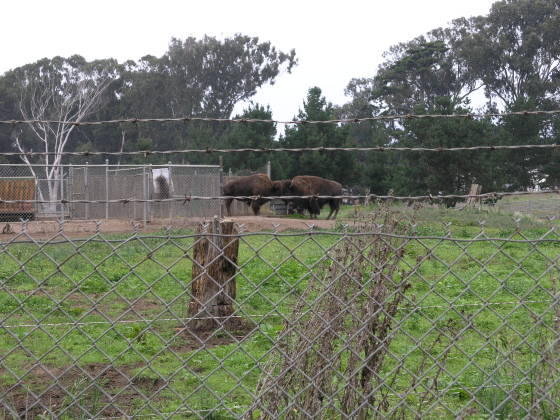 "The ""wild"" buffalo - in Golden Gate Park (behind a fence)"