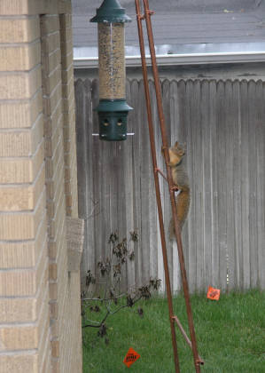 Just before departure...a wily squirrel in my back yard!