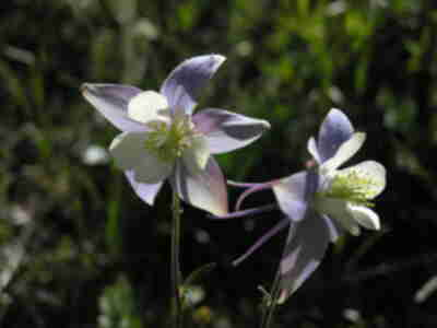 A columbine on the trail