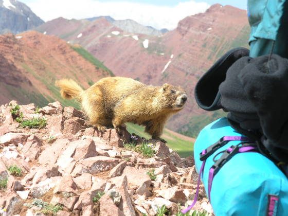 A curious marmot inspecting Brads pack