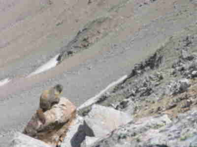 A marmot, mugging for the camera