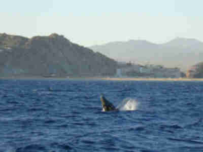Whales off the Pacific side of Cabo