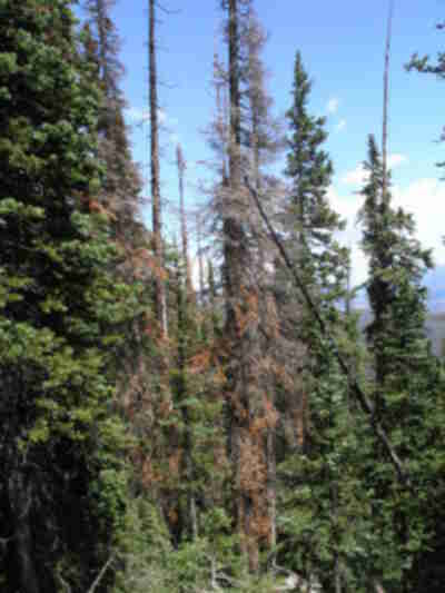 Bark Beetle damaged trees (they were everywhere)