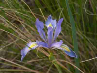 An iris in the camp site