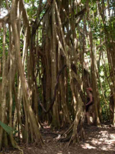 Lisa inspects a strangler fig