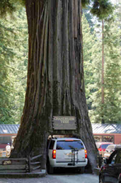 The Suburban - the largest thing that can drive through a tree