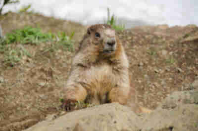Olympic Marmot on Hurricane Hill